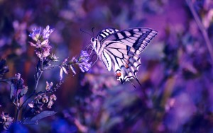 lavender-butterfly-7680x4320